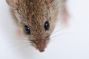 A close up of a rat.