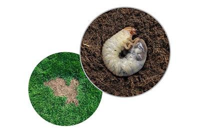 Grubs Turf Spring Special Tempco Pest Control