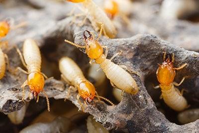 Termite Removal Tempco Pest Control Spring Special