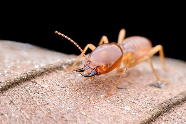 Close Up of a Termite Worker