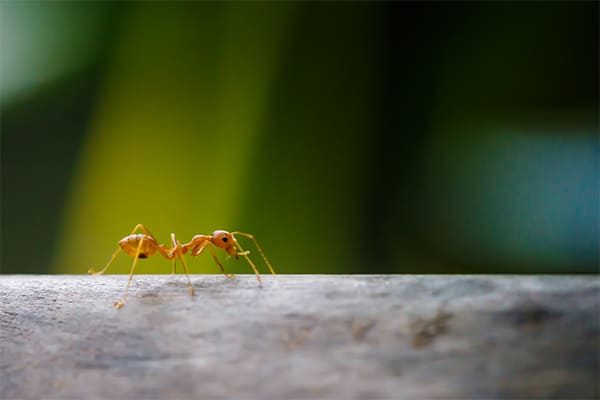 Crazy Ants walking on branche